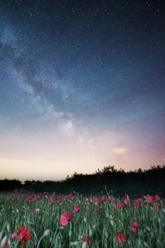 Dorset Poppy Field